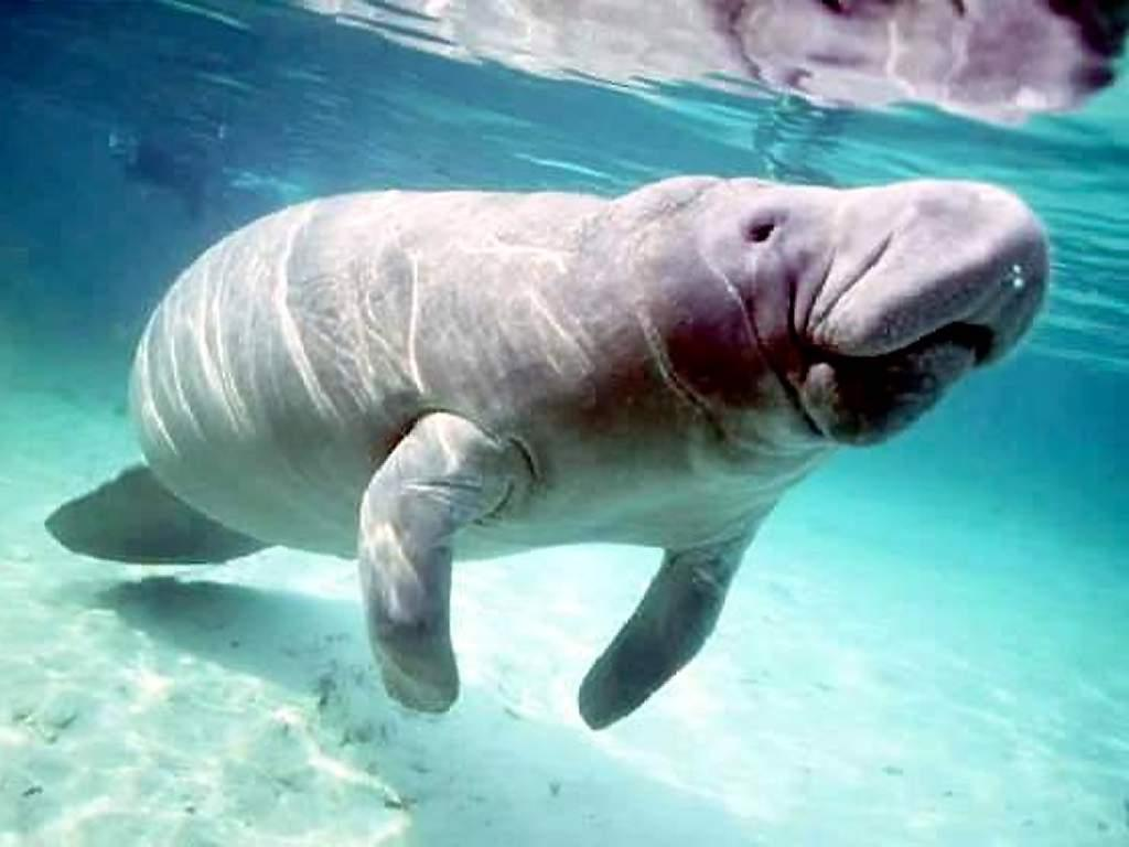 Dugong Backgrounds on Wallpapers Vista