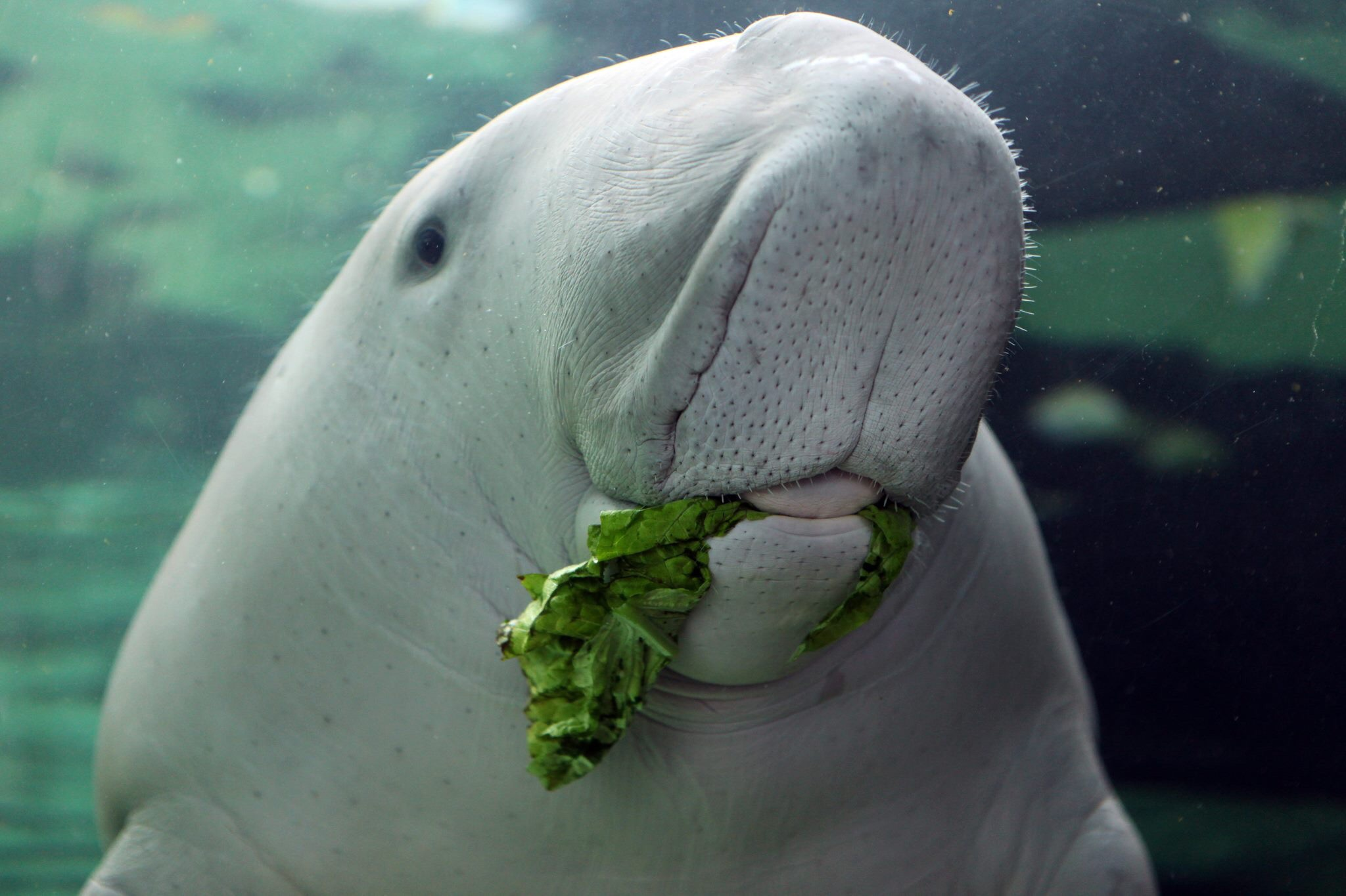 Images of Dugong | 2048x1365