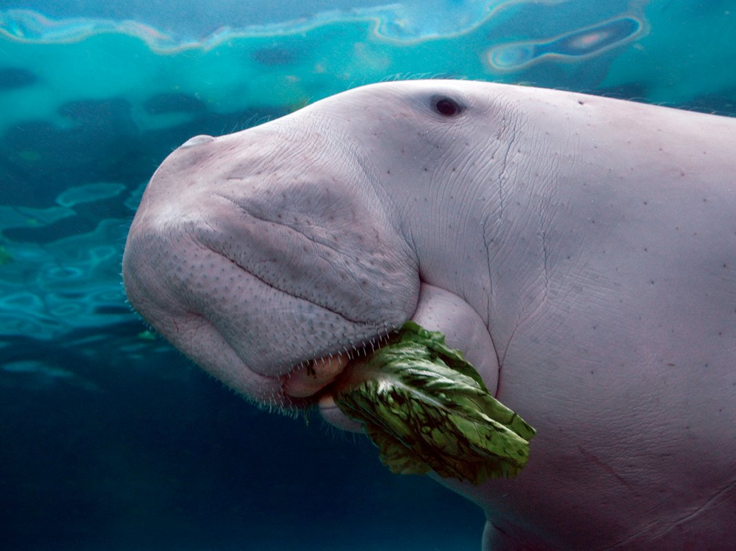 Images of Dugong | 1067x800
