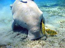HQ Dugong Wallpapers | File 12.1Kb