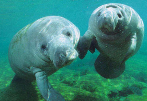 Dugong High Quality Background on Wallpapers Vista