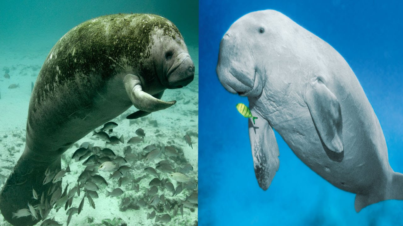 HQ Dugong Wallpapers | File 136.1Kb
