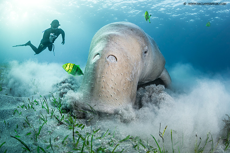 Dugong Backgrounds, Compatible - PC, Mobile, Gadgets| 800x533 px
