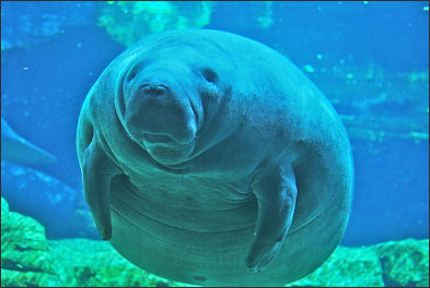 Amazing Dugong Pictures & Backgrounds