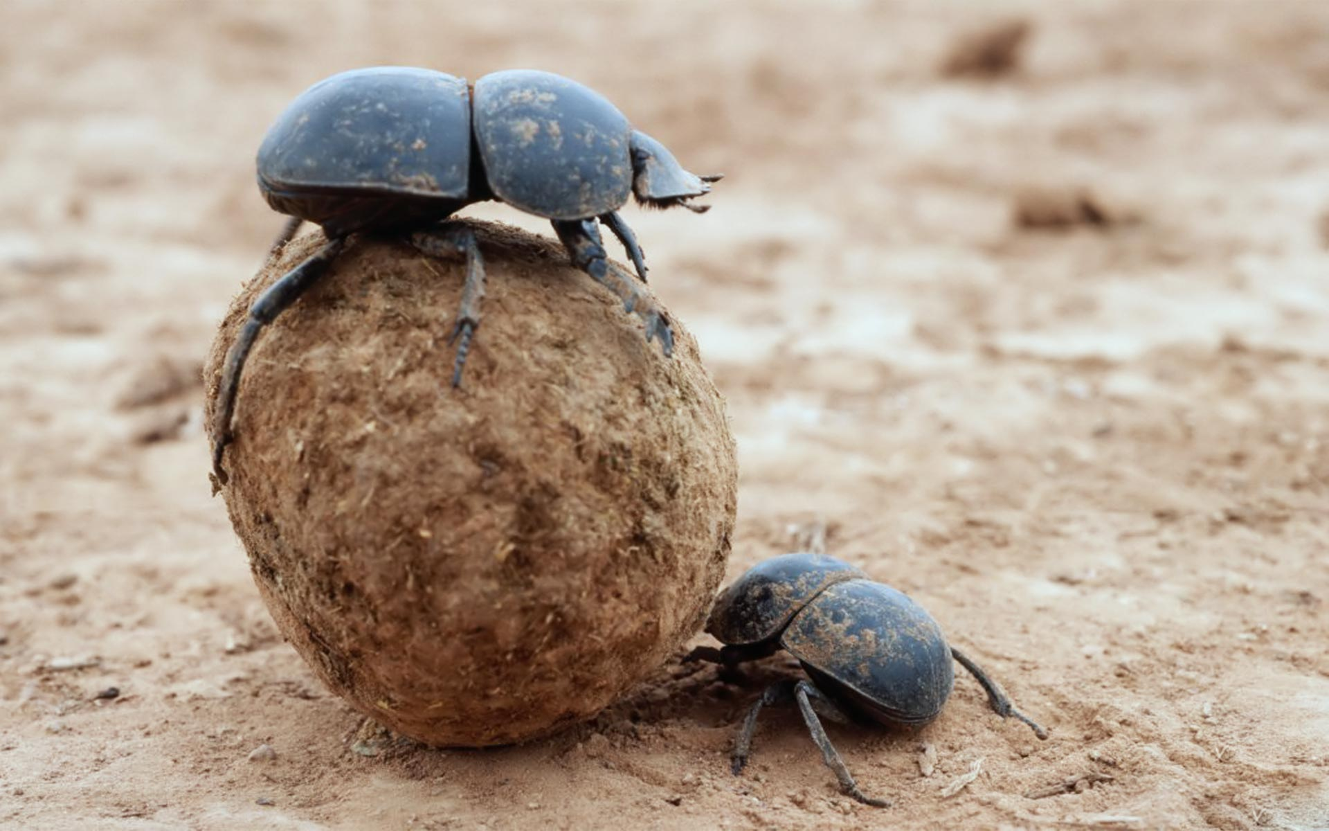 High Resolution Wallpaper | Dung Beetle 1920x1200 px