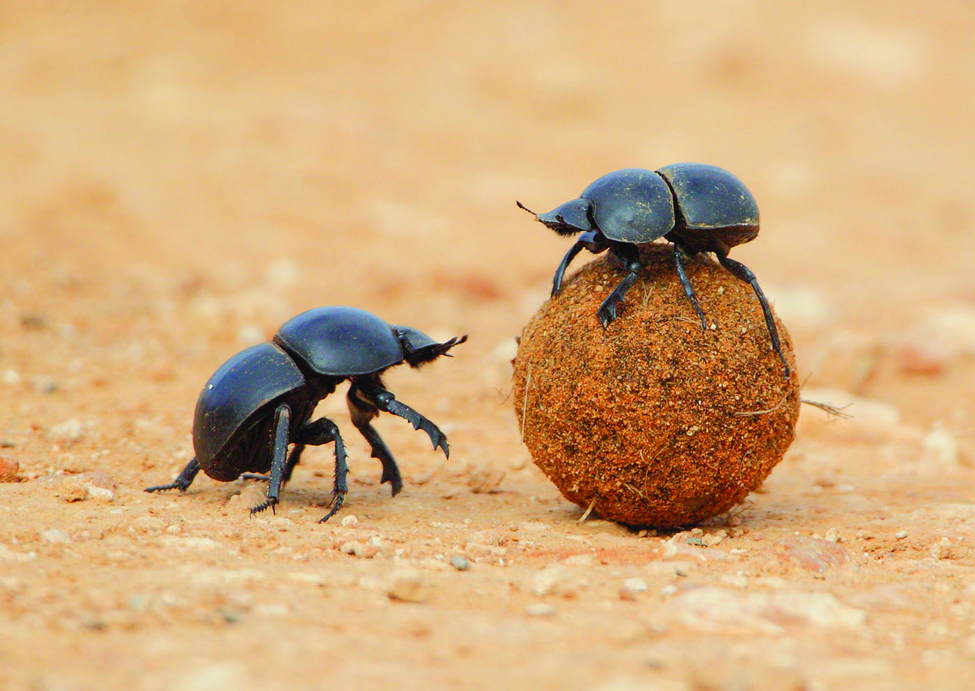 1400x993 > Dung Beetle Wallpapers