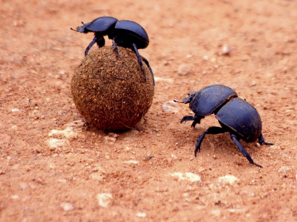 HD Quality Wallpaper | Collection: Animal, 1024x768 Dung Beetle
