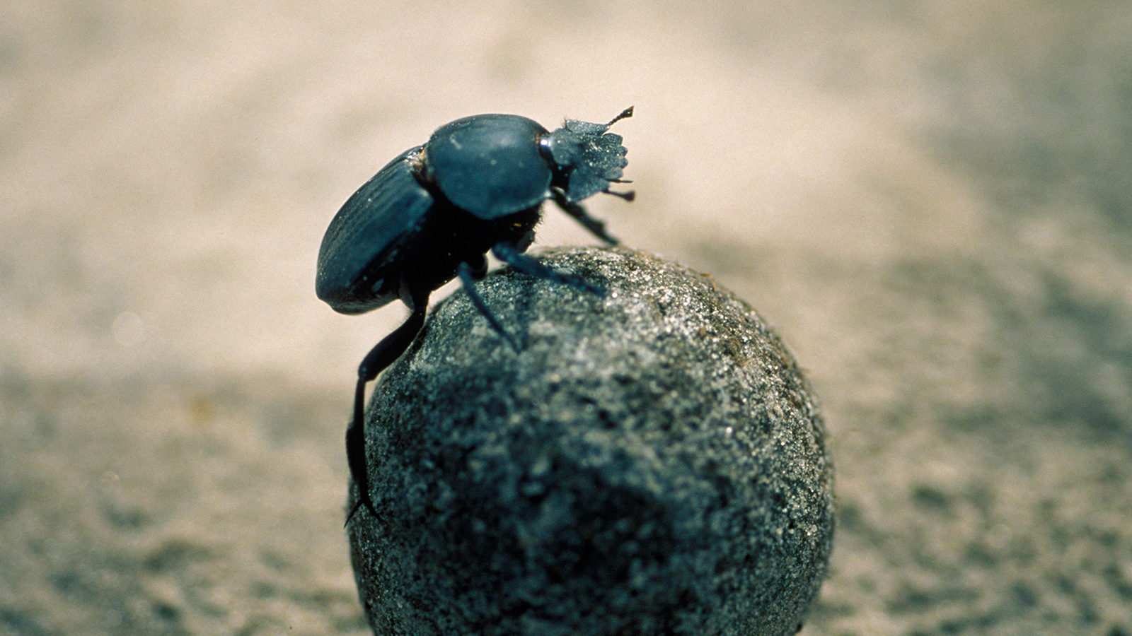 High Resolution Wallpaper | Dung Beetle 1600x900 px
