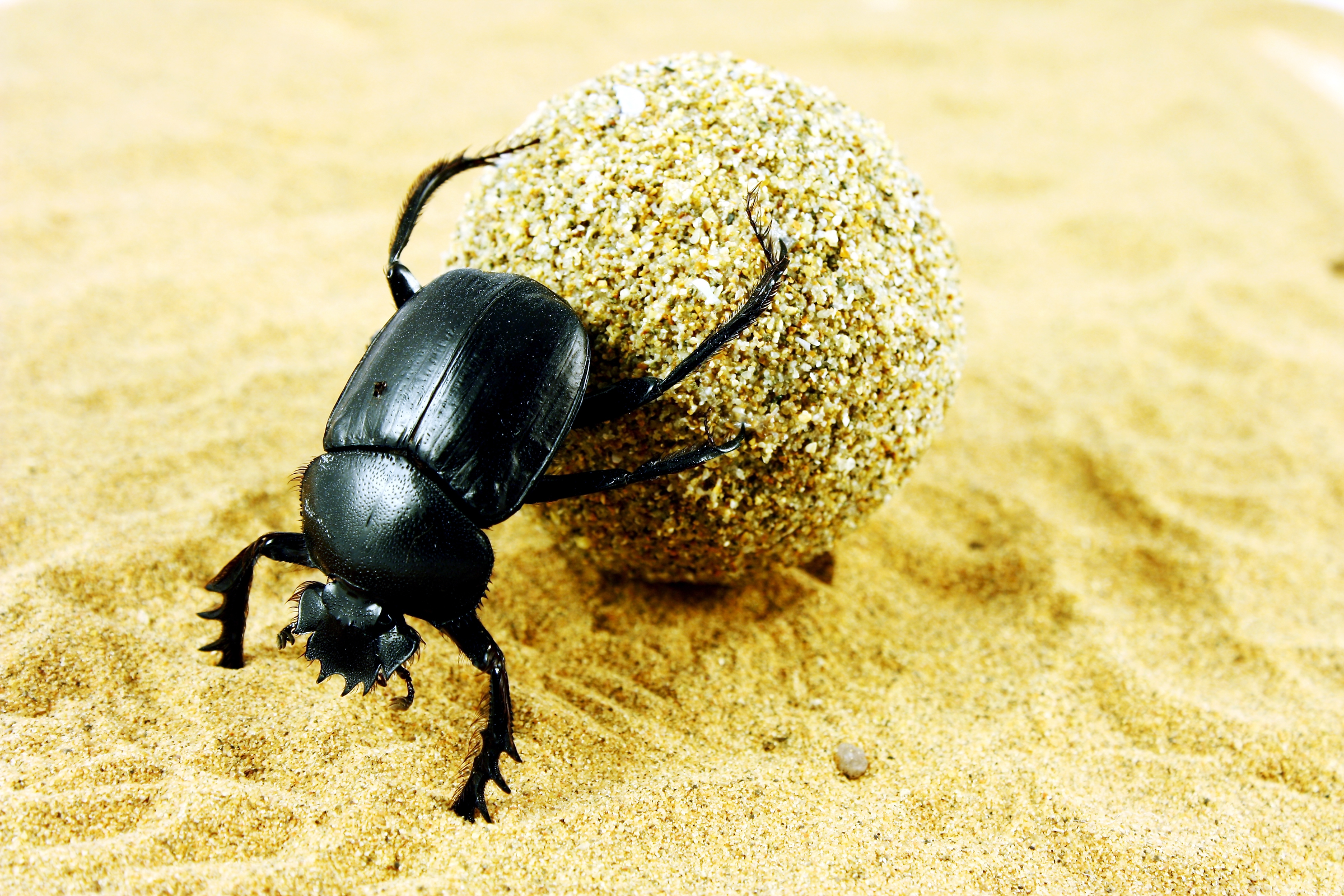 Dung Beetle Backgrounds, Compatible - PC, Mobile, Gadgets| 2400x1600 px