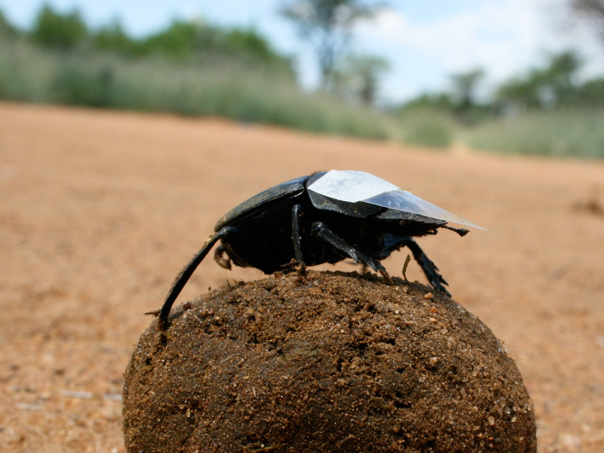 HQ Dung Beetle Wallpapers | File 164.25Kb