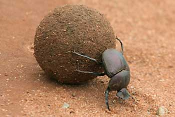 HQ Dung Beetle Wallpapers | File 13.27Kb