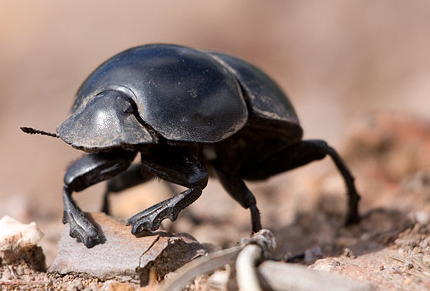 430x291 > Dung Beetle Wallpapers