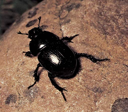 Images of Dung Beetle | 514x450
