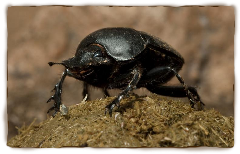 HQ Dung Beetle Wallpapers | File 456.22Kb