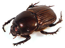 Dung Beetle Pics, Animal Collection