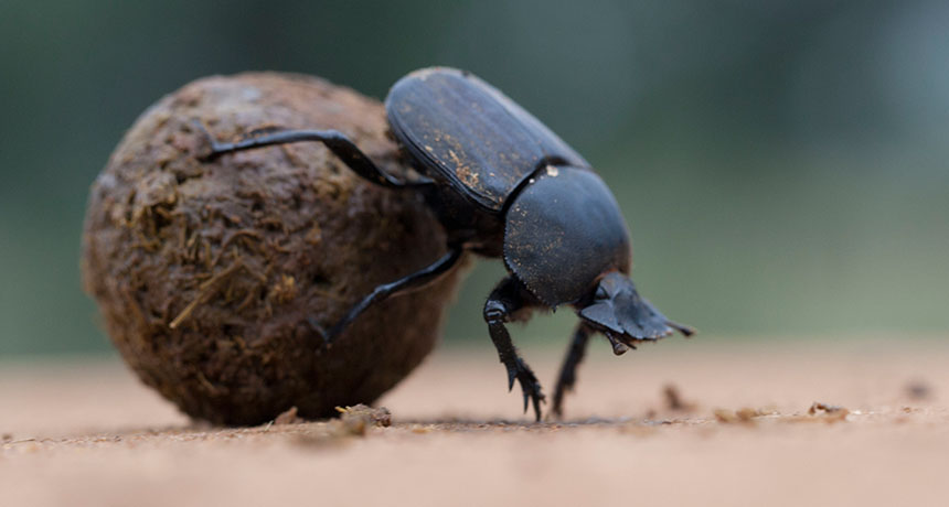 Dung Beetle Backgrounds, Compatible - PC, Mobile, Gadgets| 860x460 px