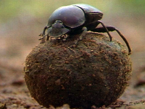 HD Quality Wallpaper | Collection: Animal, 480x360 Dung Beetle