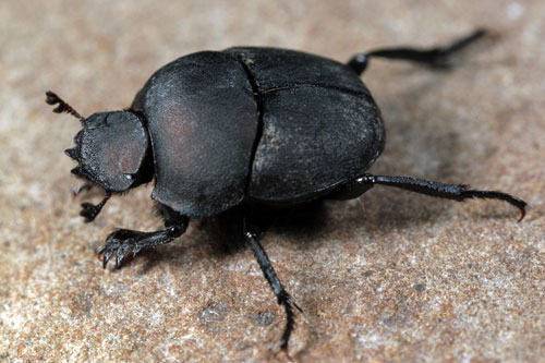 500x333 > Dung Beetle Wallpapers