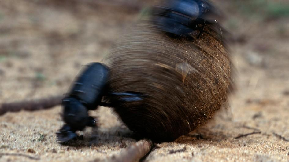 Nice Images Collection: Dung Beetle Desktop Wallpapers