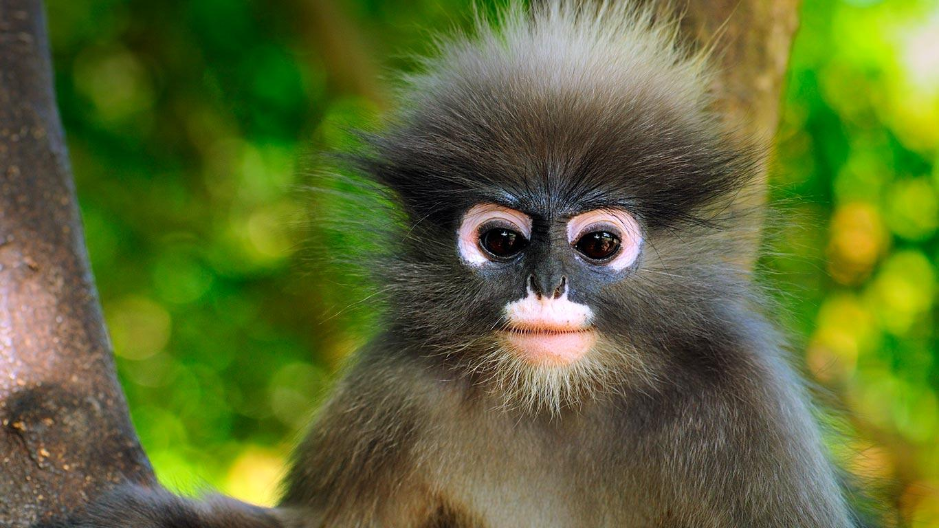 1366x768 > Dusky Leaf Monkey Wallpapers