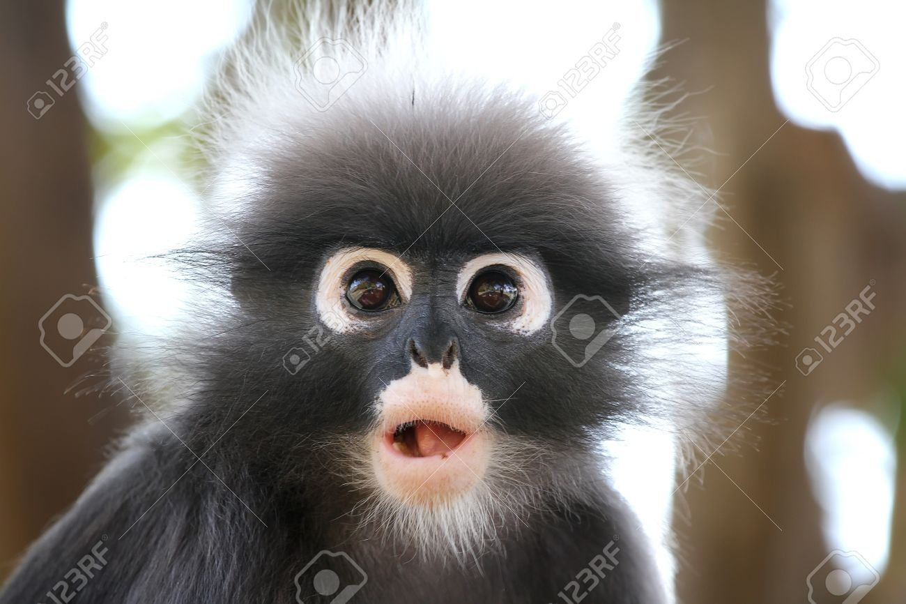 Images of Dusky Leaf Monkey | 1300x866