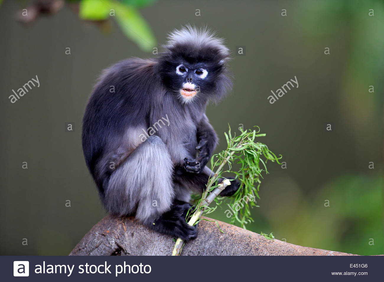 Nice wallpapers Dusky Leaf Monkey 1300x956px