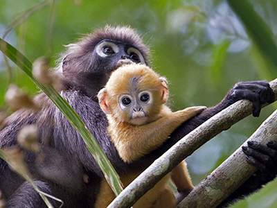 HQ Dusky Leaf Monkey Wallpapers | File 47.2Kb