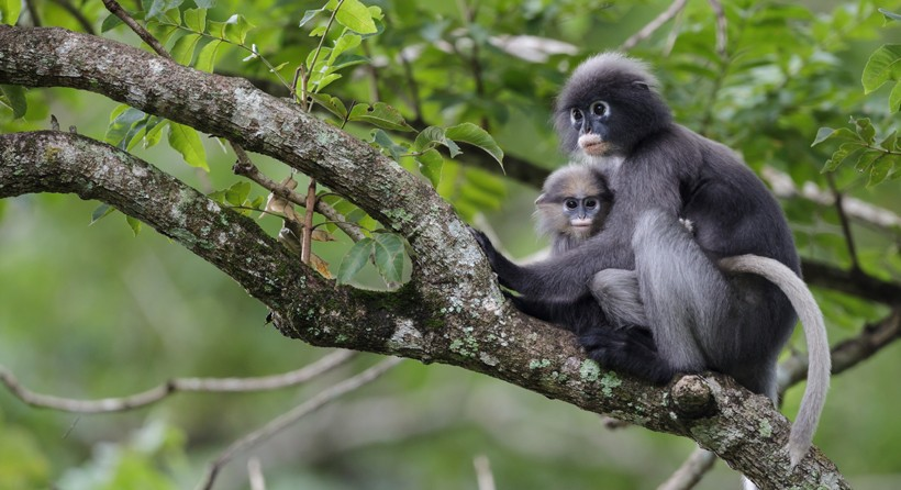 High Resolution Wallpaper | Dusky Leaf Monkey 820x446 px