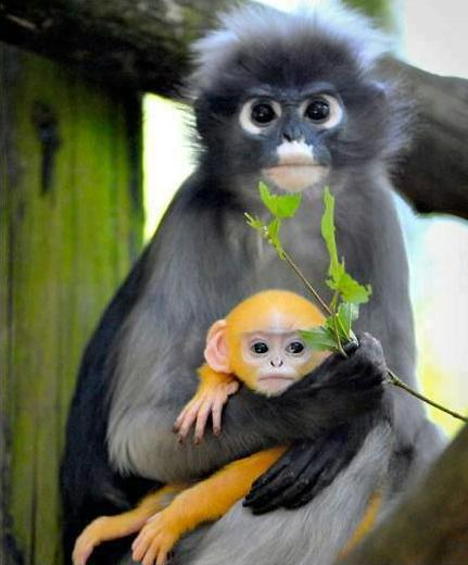 431x520 > Dusky Leaf Monkey Wallpapers