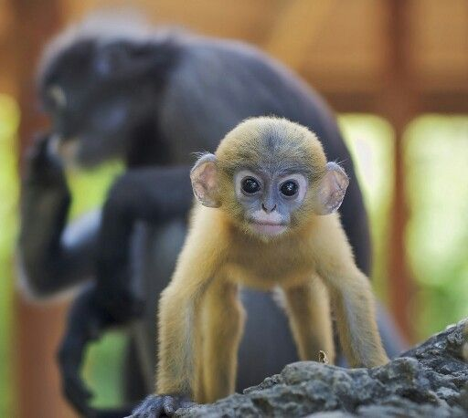 Nice Images Collection: Dusky Leaf Monkey Desktop Wallpapers