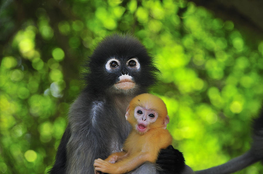 900x598 > Dusky Leaf Monkey Wallpapers