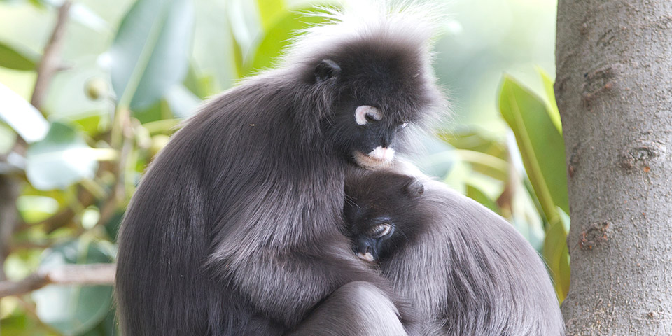 960x480 > Dusky Leaf Monkey Wallpapers