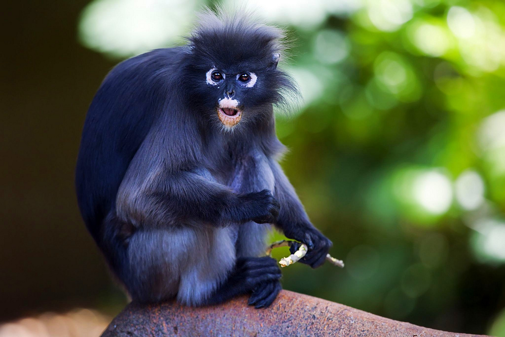 HD Quality Wallpaper | Collection: Animal, 1024x683 Dusky Leaf Monkey