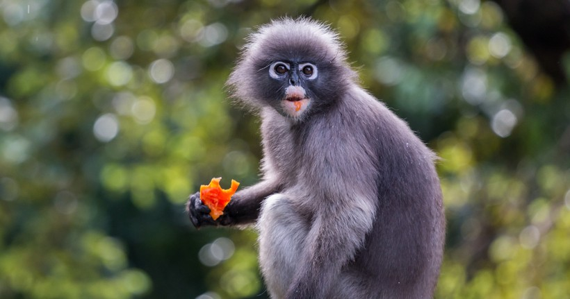HQ Dusky Leaf Monkey Wallpapers | File 64.62Kb