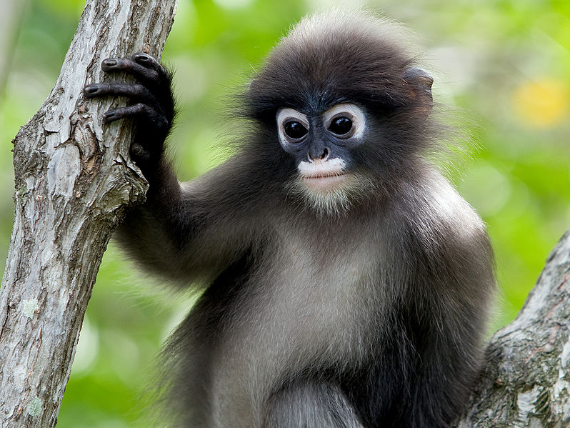 HQ Dusky Leaf Monkey Wallpapers | File 120.96Kb