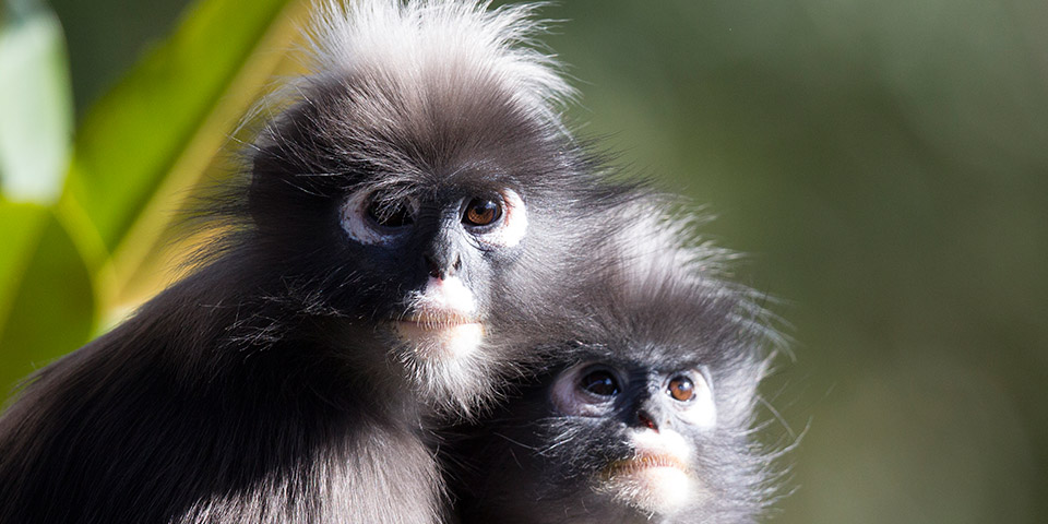 Dusky Leaf Monkey High Quality Background on Wallpapers Vista