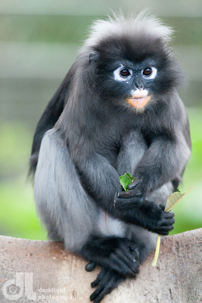Nice wallpapers Dusky Leaf Monkey 399x600px