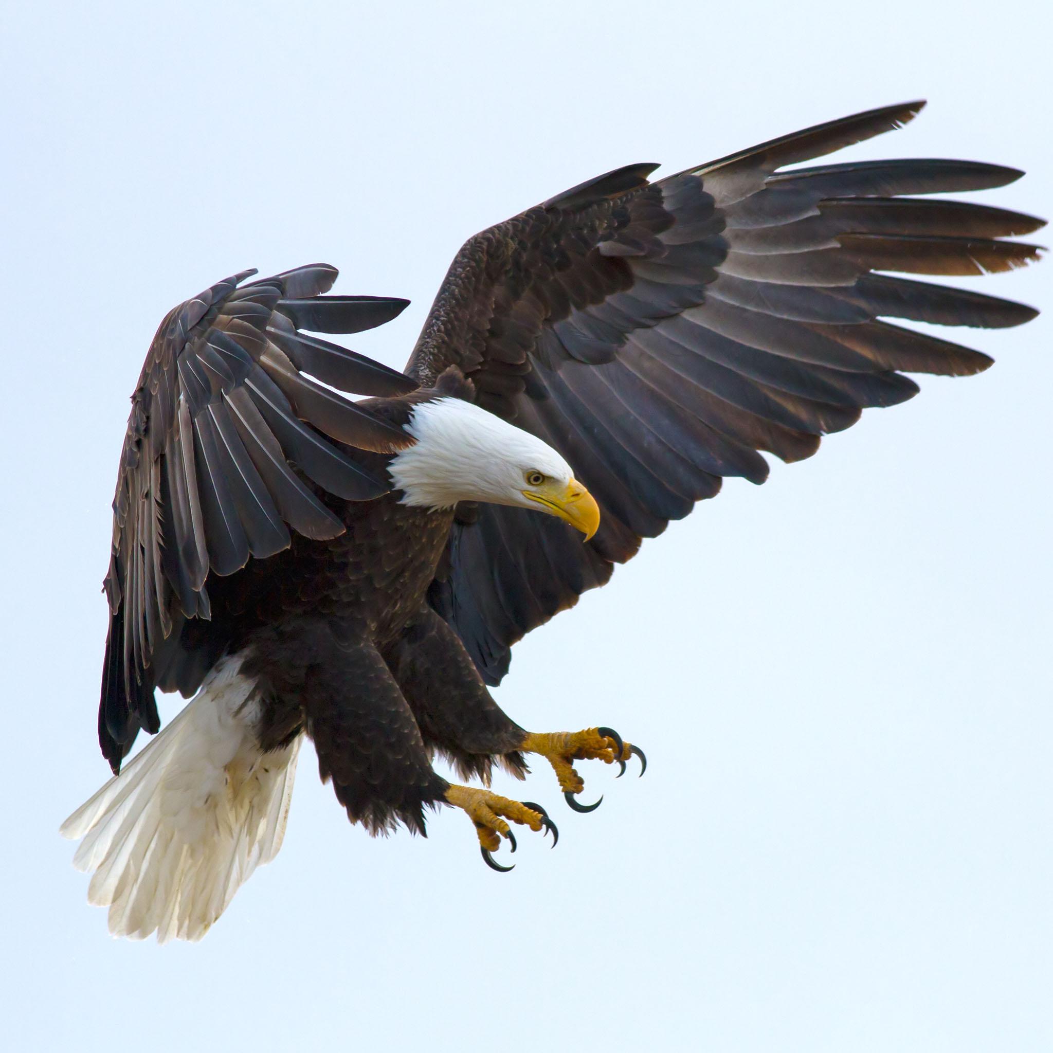 Eagle Backgrounds on Wallpapers Vista