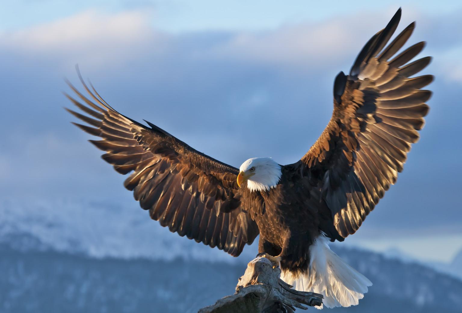 Eagle Backgrounds, Compatible - PC, Mobile, Gadgets| 1536x1042 px