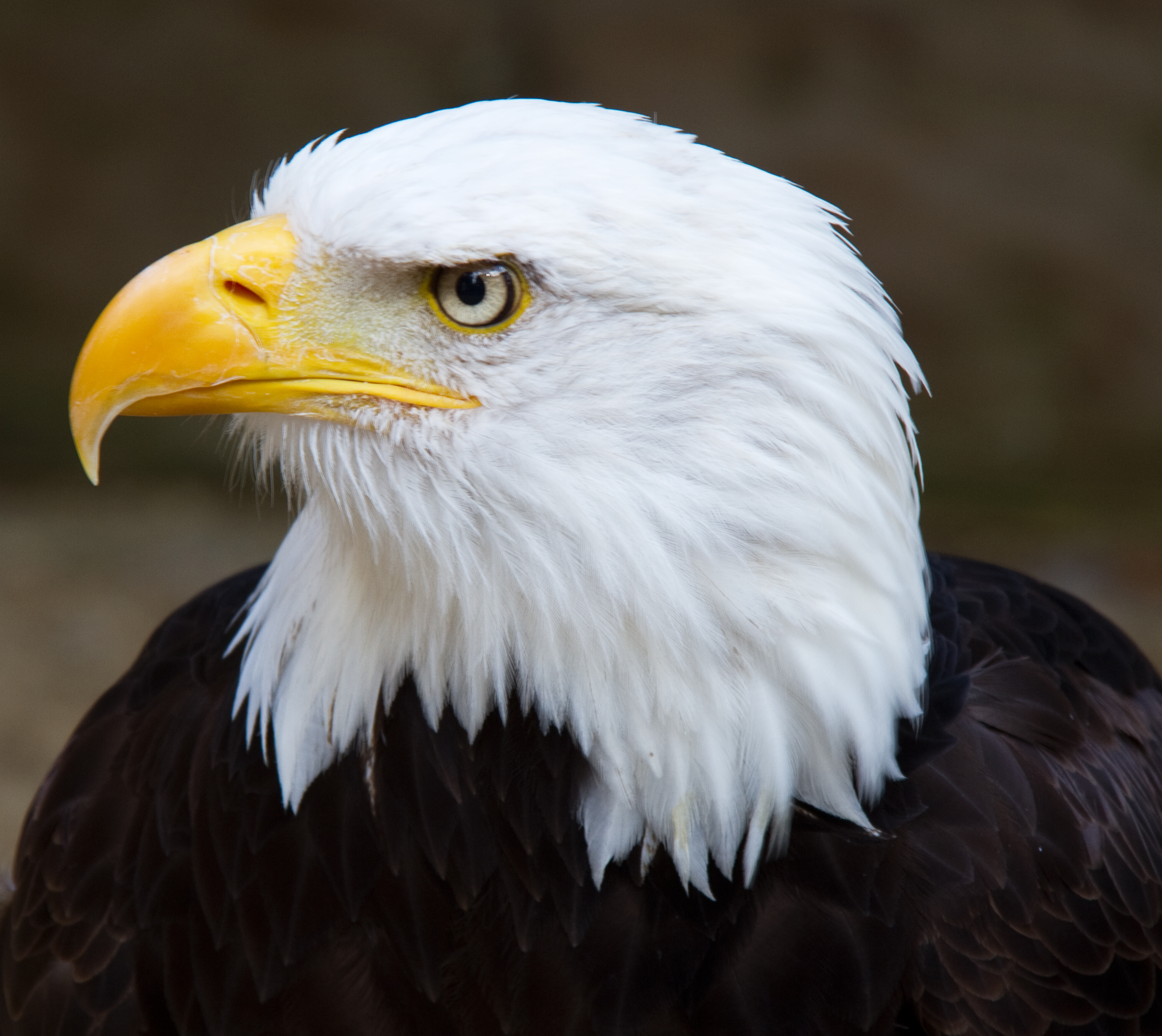 Eagle High Quality Background on Wallpapers Vista