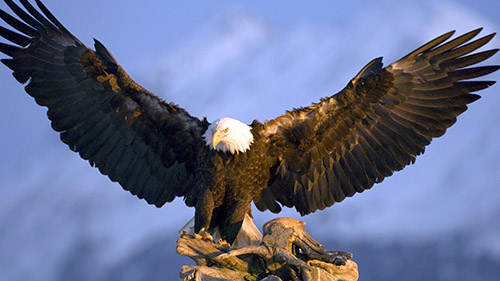 HD Quality Wallpaper | Collection: Animal, 500x281 Eagle
