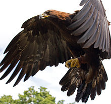 High Resolution Wallpaper | Eagle 220x205 px