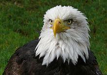HQ Eagle Wallpapers | File 10.88Kb