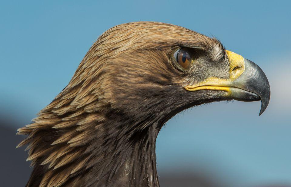 Golden Eagle Backgrounds on Wallpapers Vista