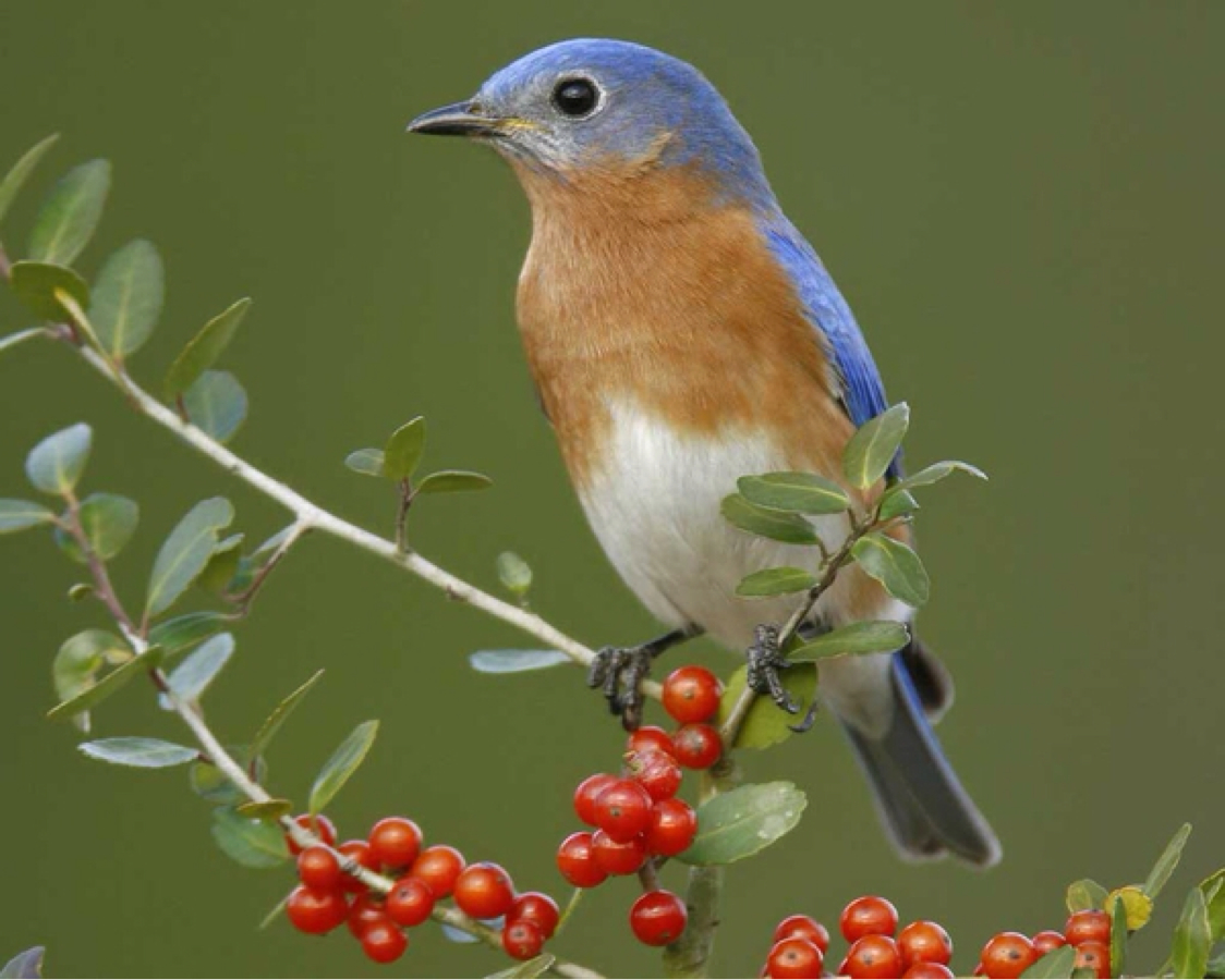 High Resolution Wallpaper | Eastern Bluebird 1124x900 px