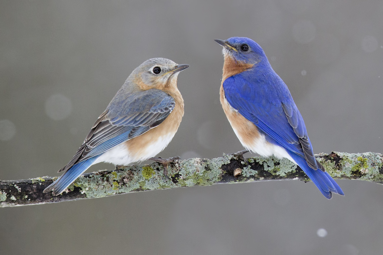 High Resolution Wallpaper | Eastern Bluebird 1500x1000 px