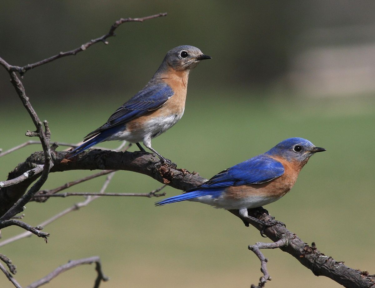 HD Quality Wallpaper | Collection: Animal, 1200x923 Eastern Bluebird
