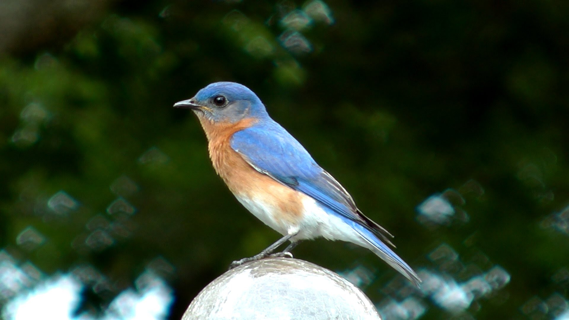 Eastern Bluebird Pics, Animal Collection