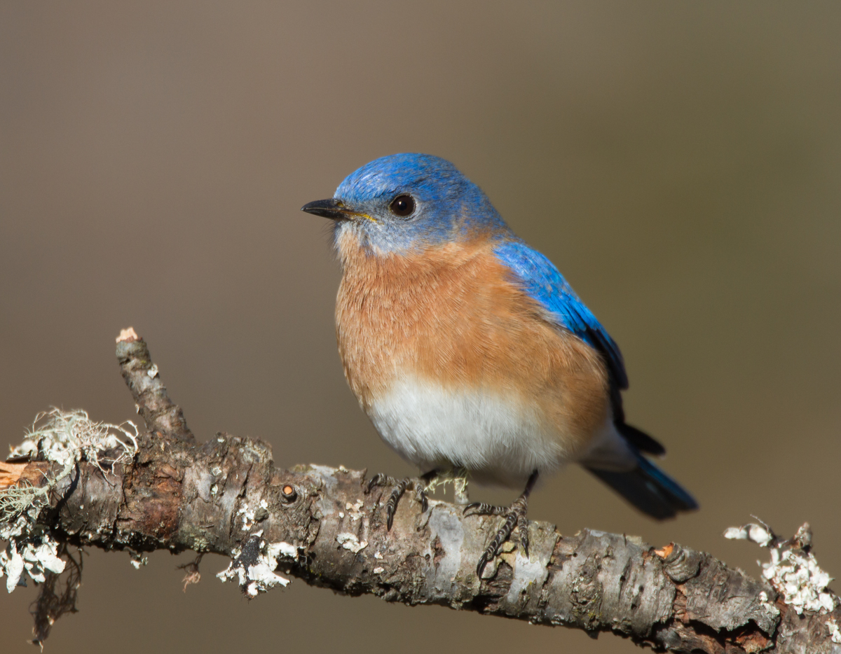 1200x934 > Eastern Bluebird Wallpapers