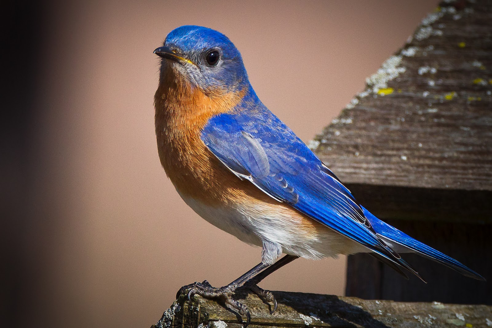 High Resolution Wallpaper | Eastern Bluebird 1600x1067 px